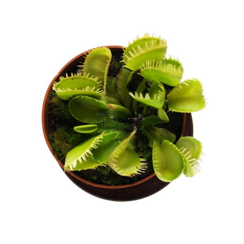 Венерина мухоловка гігантська. Діонея / Dionaea muscipula giant trap