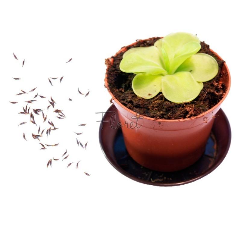 Семена жирянки