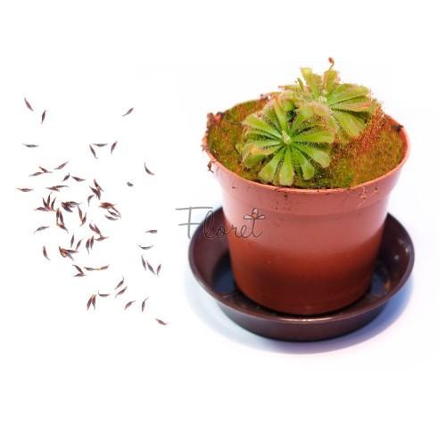 Семена росянки Алисы