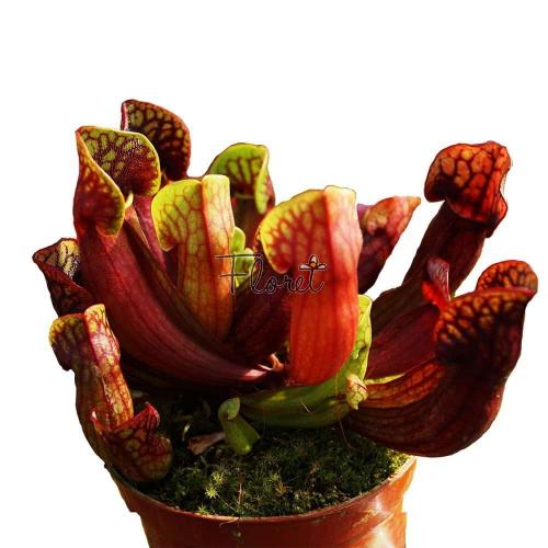 Сарраценія марун / Sarracenia maroon