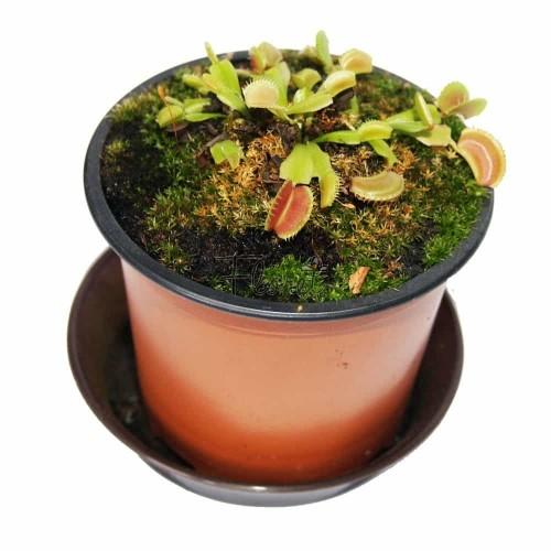 Паросток венериної мухоловки. Діонеї / Dionaea muscipula