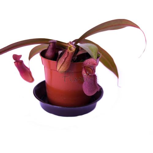 Непентес сангенея / Nepenthes sanguinea
