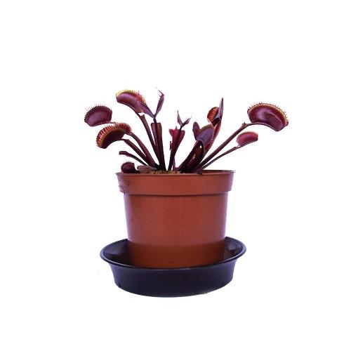 Венерина мухоловка красный дракон / Dionaea muscipula red dragon