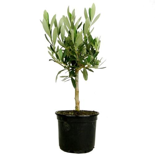 Оливкове дерево / Olea europaea