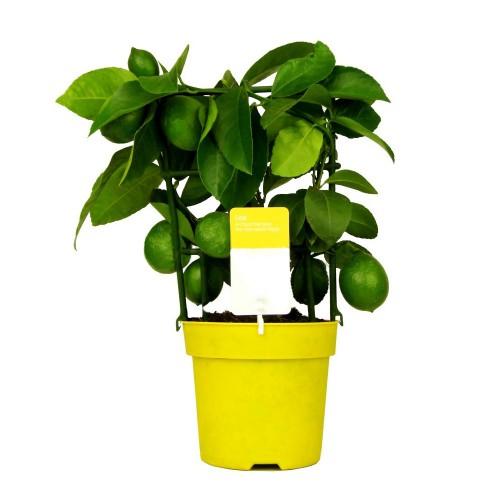 Лимонное дерево / Citrus limon