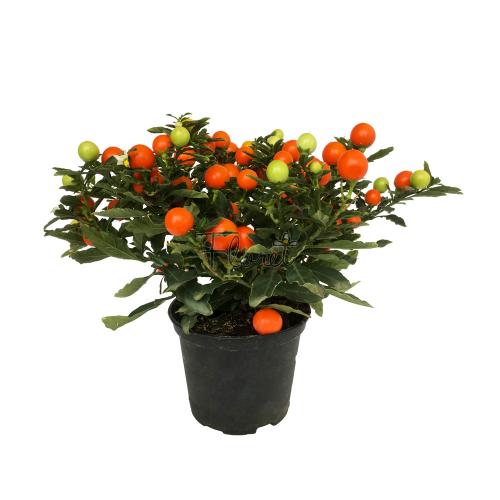 Соланум перечный / Solanum capsicastrum