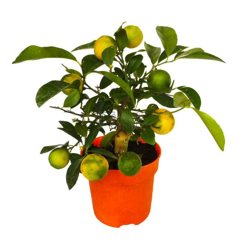 Лаймовое дерево / Citrus lime