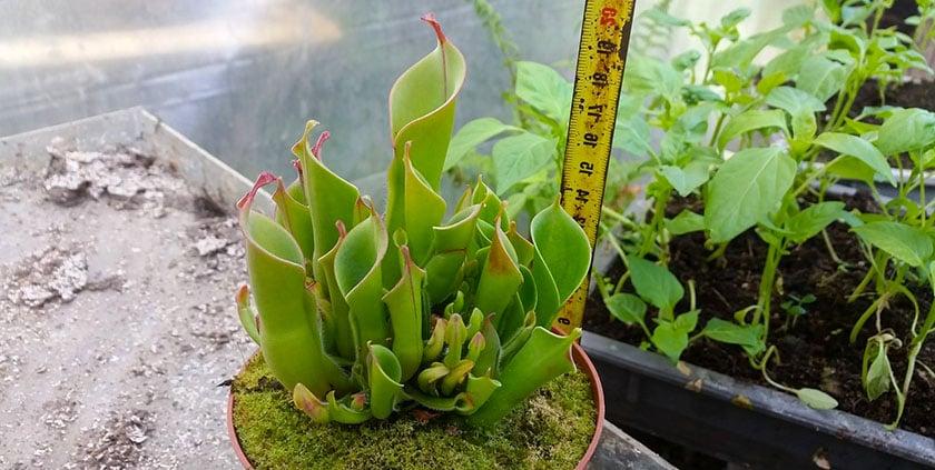 Гелиамфора растение