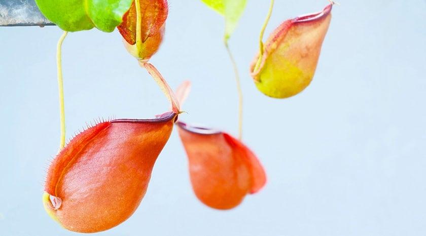 Непентес алата растение