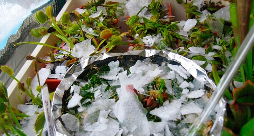 Зимовка хищных растений